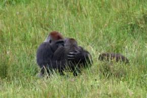 Banging Gorillas