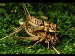 Mating Crickets